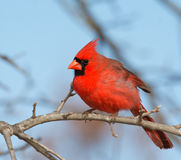 Beautiful bright red male Northern Cardinal Royalty Free Stock Photo