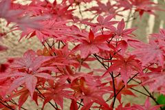 Beautiful bright red maple leaves close up stock photography