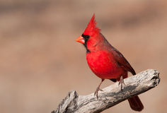 Free Beautiful Bright Red Northern Cardinal Male Royalty Free Stock Photo - 29348935