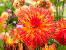 A beautiful bright red and orange flower up close blooming. England; UK Royalty Free Stock Photography