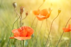 Beautiful bright red poppies in the sun on background of green g royalty free stock photo