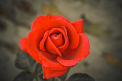 Beautiful bright red rose Royalty Free Stock Photos