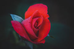Beautiful bright red rose Royalty Free Stock Photography