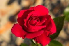 Beautiful bright red rose Stock Image