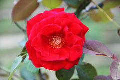 Beautiful bright red rose growing on a bush.  Royalty Free Stock Photos