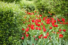 Bright red tulips blooming in the park or in the garden. Beautiful bright red tulips growing in a park among shrubs and trees royalty free stock photography