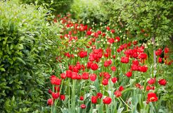 Red tulips blooming in the park or in the garden. Beautiful bright red tulips growing in a park among shrubs and trees royalty free stock photos