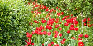 Red tulips blooming in the summer park. Beautiful bright red tulips growing in a park among shrubs and trees royalty free stock photo