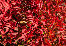 Beautiful Bright Red Winter Leaves of Dwarf Nandina Cultivar. Abstract background of the vibrant bright red winter leaves of a dwarf Nandina (Sacred Bamboo) stock photography