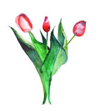 Beautiful bright refined bouquet of three red tulips watercolor hand sketch Royalty Free Stock Image