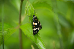 A beautiful, bright spotted butterfly sitting on a grass in summer evening. Royalty Free Stock Image