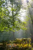 Early morning in the forest, mist and sunbeams shine beautifully through the trees,. Beautiful bright sunbeams make their way through the morning mist in fantasy royalty free stock images