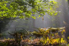 Early morning in the forest, mist and sunbeams shine beautifully through the trees,. Beautiful bright sunbeams make their way through the morning mist in fantasy stock images