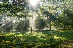 Early morning in the forest, mist and sunbeams shine beautifully through the trees,. Beautiful bright sunbeams make their way through the morning mist in fantasy stock image