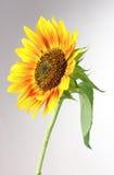 Beautiful bright sunflower Stock Images