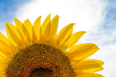 Beautiful Bright Sunflower Against a Blue Sky Stock Images