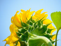 Beautiful Bright Sunflower Against the Blue Sky Stock Photo