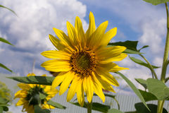 Beautiful bright sunflower close-up against blue sky Stock Photography