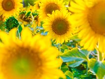 Beautiful bright sunflower field background with one big blooming yellow flower in focus. Close-up horizontal banner Royalty Free Stock Image