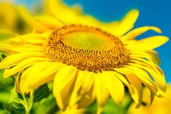 Beautiful bright sunflower field and blue sky background with one big blooming yellow flower in focus. Close-up stock photos