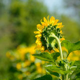 Beautiful Bright Sunflower in the Field Royalty Free Stock Photo