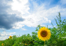 Beautiful Bright Sunflower in the Green Field Royalty Free Stock Images