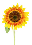 Beautiful bright sunflower isolated Royalty Free Stock Images