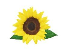 Beautiful bright sunflower isolated Stock Photos