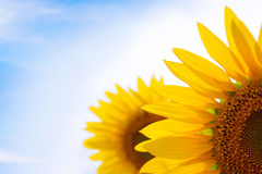 Beautiful Bright Sunflowers Against a Blue Sky Stock Photography