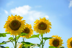 Beautiful Bright Sunflowers Against the Blue Sky Royalty Free Stock Photography