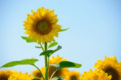 Beautiful Bright Sunflowers Against the Blue Sky Stock Photo