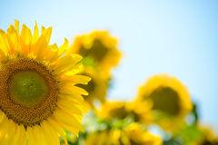 Beautiful Bright Sunflowers Against the Blue Sky Royalty Free Stock Photos