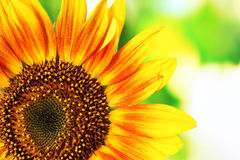 Beautiful bright sunflowers on green background Royalty Free Stock Images