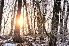Beautiful sunrise in snowy forest Royalty Free Stock Photo