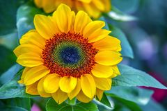 Beautiful and bright tropical sunflower stock photos