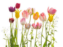 Beautiful bright tulips and forget-me Stock Image