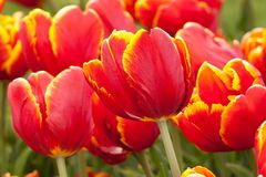 Red-yellow tulips blooming in the park or in the garden. Beautiful bright tulips with red-yellow petals blooming in the park or in the garden Royalty Free Stock Photos