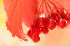 Red viburnum berries in the park. Beautiful bright viburnum berries ripening on a branch in a sunny park or in the garden royalty free stock image