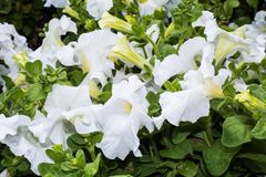 Bright white trumpet flowers with green leaves stock photo