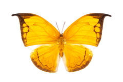 Beautiful bright yellow butterfly isolated on white Royalty Free Stock Photo
