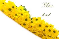 Beautiful bright yellow chrysanthemums