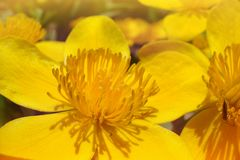 Beautiful bright yellow flower in macro royalty free stock photos