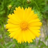 Beautiful bright yellow flower in meadow or field.  Stock Photos