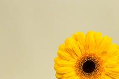 Beautiful bright yellow gerber in macro Stock Photography