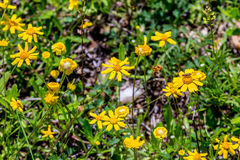 Beautiful Bright Yellow Lanceleaf Coresopsis Wildflowers in a Fi Royalty Free Stock Photos