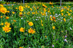 Beautiful Bright Yellow Lanceleaf Coresopsis Wildflowers in a Fi Stock Images