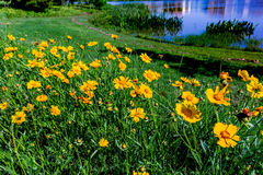 Beautiful Bright Yellow Lanceleaf Coresopsis Wildflowers in a Fi Royalty Free Stock Photography