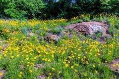 Beautiful Bright Yellow Lanceleaf Coresopsis Wildflowers in a Fi Stock Photo
