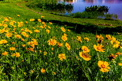 Beautiful Bright Yellow Lanceleaf Coresopsis Wildflowers in a Fi Royalty Free Stock Images