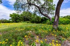Beautiful Bright Yellow Lanceleaf Coresopsis Wildflowers Near a Stock Photography